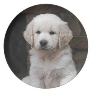 Weisser Golden Retriever Welpe Puppy Essteller