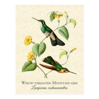 Weißer Kehle-Gebirgsedelstein-Kolibri-Vintage Postkarte