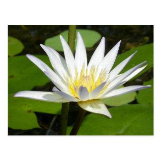 Weißer Lotos-Blumen-Postkarte Postkarte