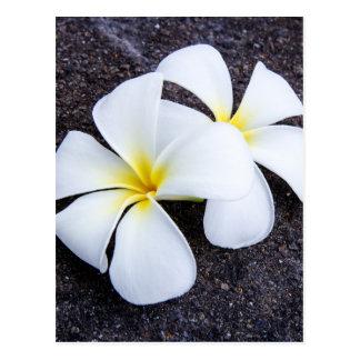 Weißer Plumeria-Blumefrangipani-Blumenlava-Felsen Postkarte