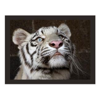 Weißer Tiger CUB Postkarte