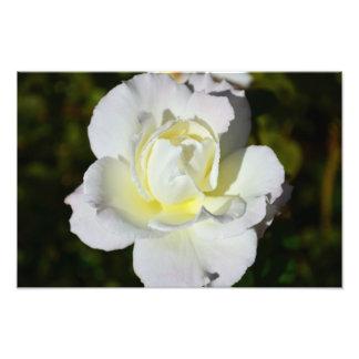 Weißer und gelber Rosen-Druck Photographischer Druck