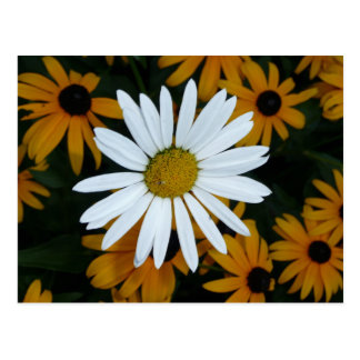 Weißes Gänseblümchen und Blackeyed Susans Postkarte
