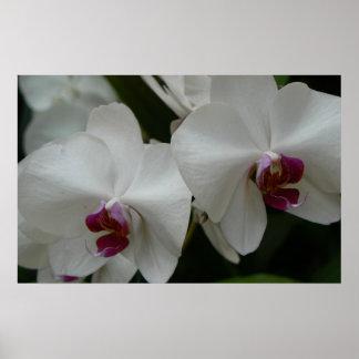 weißes Orchideenplakatgeschenk Plakat