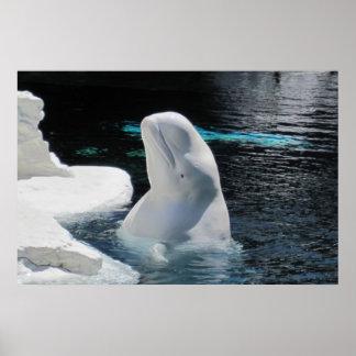 Weißes Weißwal-Wal-Plakat Poster