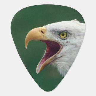 Weißkopfseeadler (Haliaeetus leucocephalus) Plektrum