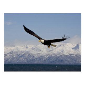 Weißkopfseeadler im Flug, Haliaeetus Postkarte
