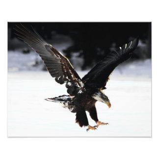 Weißkopfseeadler Kunstphotos