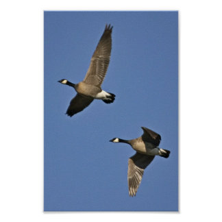 Wenige Kanada-Gänse im Flug Poster