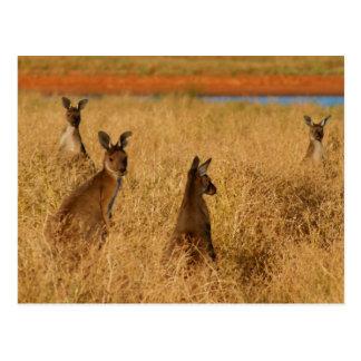 Western-Grau-Kängurus Postkarte