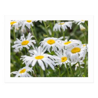 Wilde Gänseblümchen Postkarte