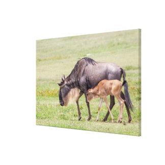 Wildebeest-Mutter und Kalb Leinwanddruck