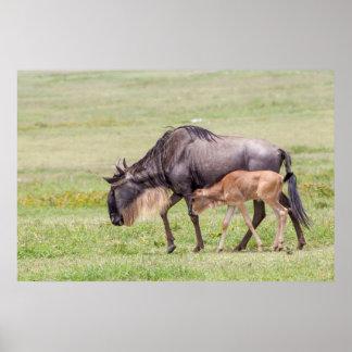 Wildebeest-Mutter und Kalb Poster