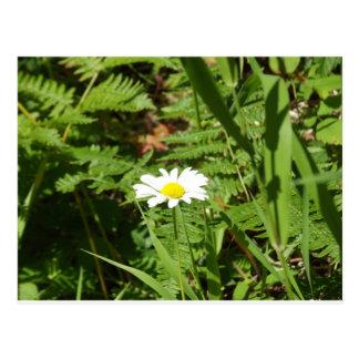 Wildes Gänseblümchen mit Farnen Postkarte