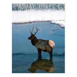 Winter-Rotwild in Teich Postkarte