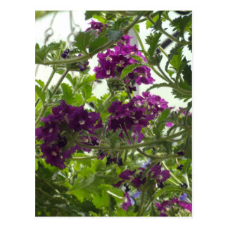 Wirbelnde lila Verbene Postkarte