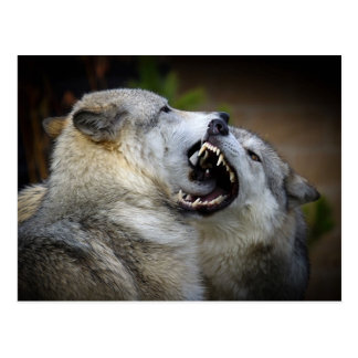 Wolf-Kampf Postkarte