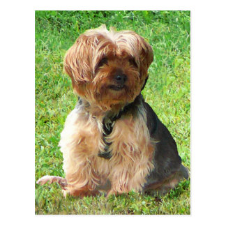 Yorkshire Terrier im Park Postkarte