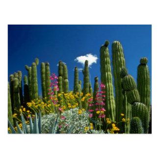 Zacken Sie viele Pflanzen, Sonoran Wüste, Postkarte