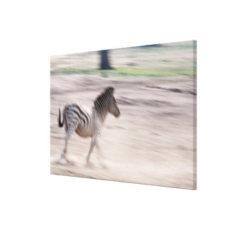 Zebra, der weg läuft leinwanddruck