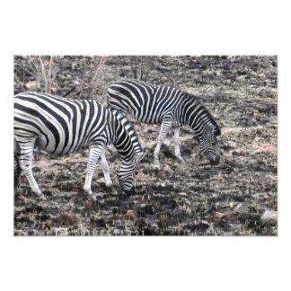 Zebra Fotodruck