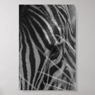 Zebra im Gras Poster