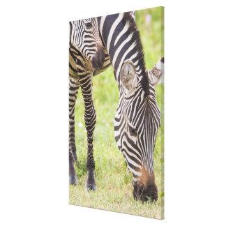 Zebras-Essen Leinwanddruck