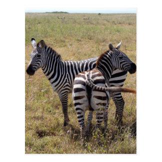 Zebras in Nairobi Kenia Postkarte