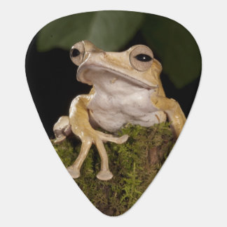 Zentrales PA, USA. Ohriger Frosch Borneos; Plektrum
