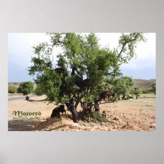 Ziegen in den Bäumen - Argan-Bäume, Marokko Poster