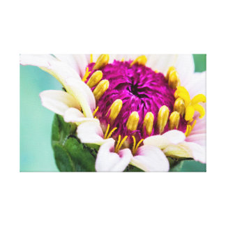 Zinnia in der Blüten-Leinwand Leinwanddruck