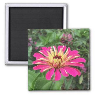 ZINNIA - vibrierende rosa und Sahne - Quadratischer Magnet