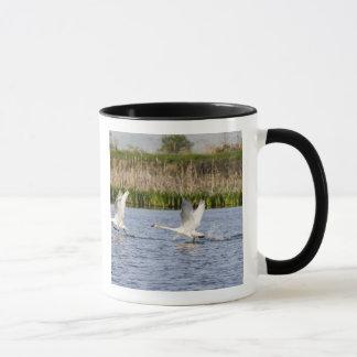 Züchtende Paare des Tundraschwanstarts für Tasse