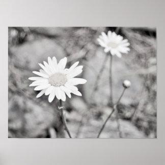Zwei weiße Blumen Schwarzweiss Poster
